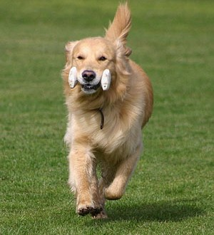 golden-retrieve